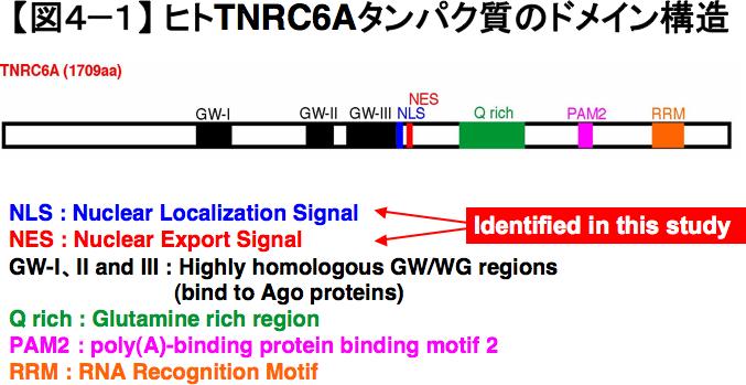 ヒトTNRC6Aタンパク質のドメイン構造