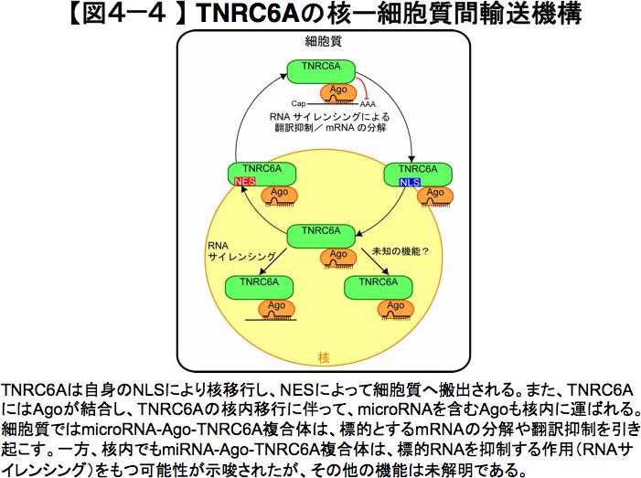 TNRC6Aの核ー細胞質間輸送機構