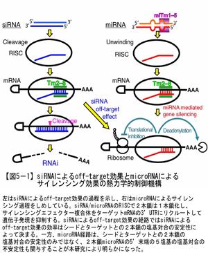 siRNAによるoff-target効果とmicroRNAによるサイレンシング効果の熱力学的制御機構
